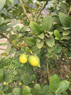 广东省中山市中山市香水柠檬 2.7 - 3.2两