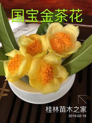 广西壮族自治区桂林市荔浦县金花茶 20~25cm