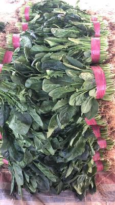 河北省邯郸市丛台区大叶菠菜 25~30cm