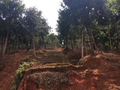 湖南省郴州市宜章县南方红豆杉 3.5米~5米