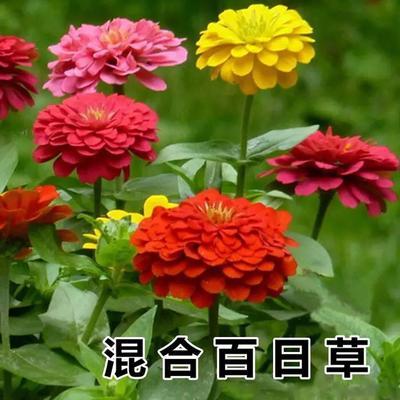 这是一张关于百日草种子 的产品图片