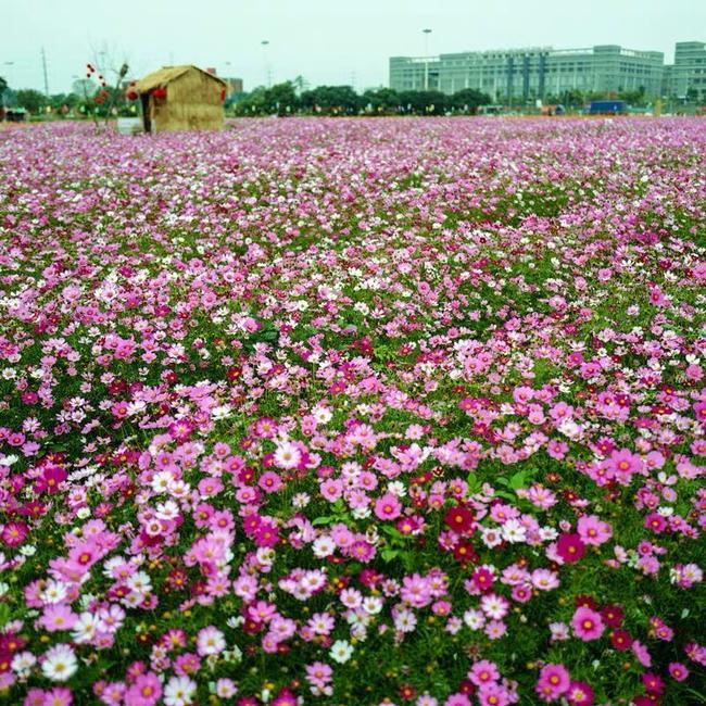 格桑花种子_波斯菊种子 混色格桑花种子高杆矮杆野花组合绿化景观草花籽