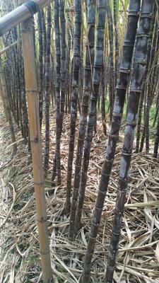 广东省广州市南沙区黑皮甘蔗 2cm以下 2.49m