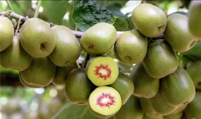 这是一张关于红心猕猴桃苗 嫁接苗 的产品图片