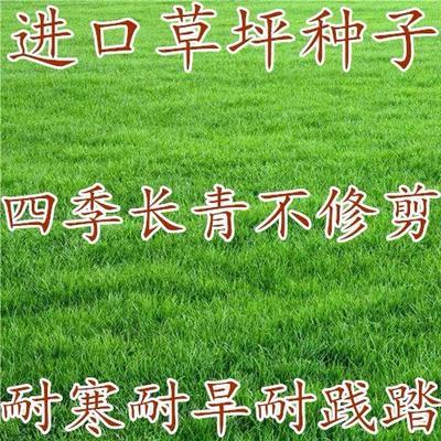 江苏省宿迁市沭阳县果岭草