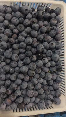 山东省泰安市肥城市蓝丰蓝莓 鲜果 10 - 12mm以上