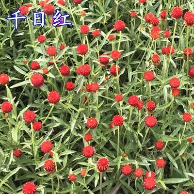 这是一张关于千日红种子 千日紫的产品图片