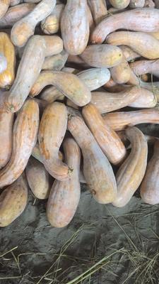湖北省荆州市石首市兴蔬蜜本南瓜 4~6斤