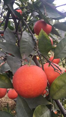 这是一张关于塔罗科血橙 65 - 70mm 4两以下 中大果36个左右的产品图片