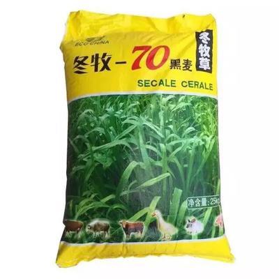 江苏省宿迁市沭阳县冬牧70种子 黑麦草耐寒冷