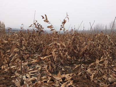 这是一张关于有机板栗 实生苗 0.5~1米 的产品图片