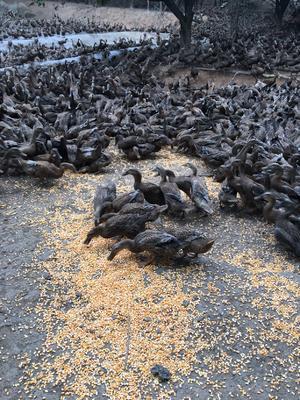 福建省漳州市漳浦县蛋鸭 母 半圈养半散养 3-4斤