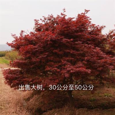 广西壮族自治区桂林市兴安县日本红枫