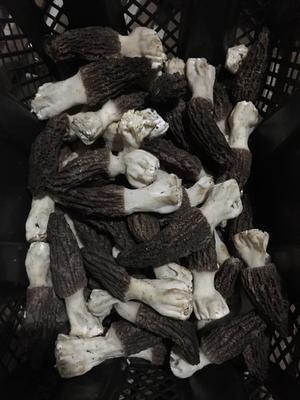 云南省昆明市官渡区羊肚菌 6cm~8cm 尖顶 灰黑色 人工种植 鲜货