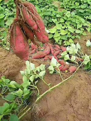 这是一张关于桥头地瓜 3两~6两 红皮 的产品图片