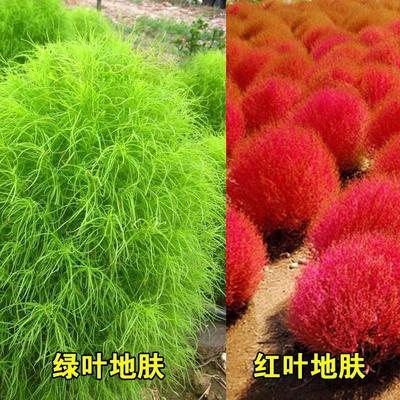 这是一张关于地肤种子 红色和绿色两种的产品图片