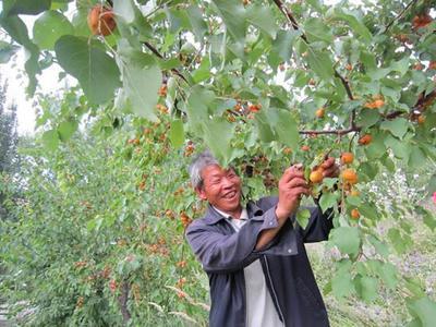 新疆维吾尔自治区伊犁哈萨克自治州伊宁市树上干杏 40-45mm