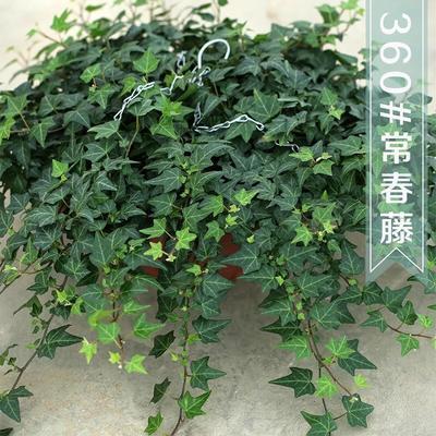 江苏省宿迁市沭阳县常春藤 30~50cm 有50—90厘米