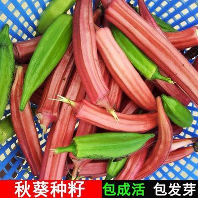 江苏省宿迁市沭阳县红秋葵种子 杂交种