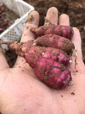 山东省菏泽市郓城县紫菊芋 天然胰岛素:红果菊芋