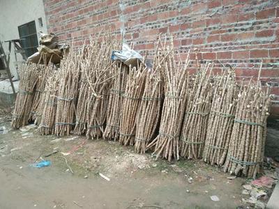 广西壮族自治区防城港市防城区木薯种苗