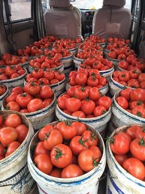 山东省潍坊市寿光市大红硬果 通货 弧二以上 大红