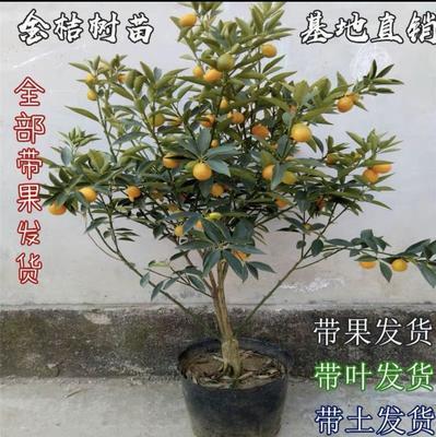 这是一张关于脆皮金桔苗 的产品图片
