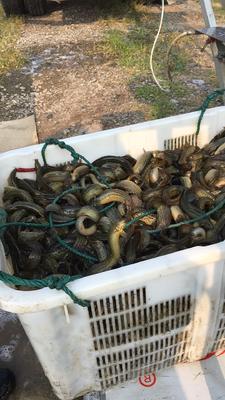 浙江省湖州市德清县台湾泥鳅 15cm以上 35尾/公斤 人工养殖