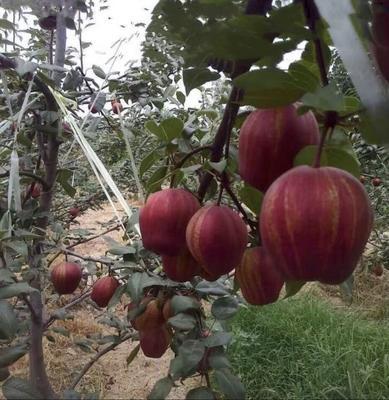 山东省临沂市平邑县早酥红梨苗 1~1.5米