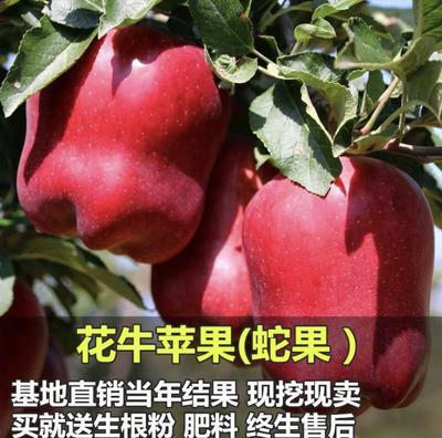 山东省临沂市平邑县蛇果苹果苗 1~1.5米