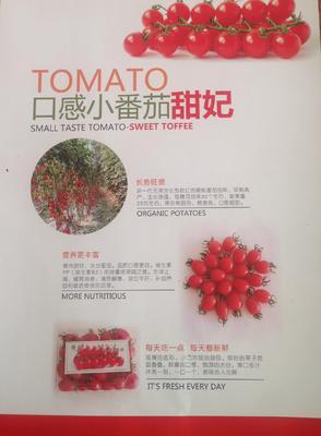 山东省潍坊市寿光市樱桃番茄 精品 黛粉 弧二以上 口感多汁小番茄:甜妃