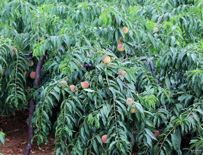 浙江省台州市临海市食用桃胶 24个月以上