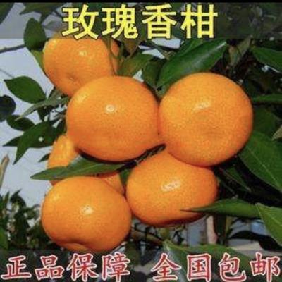 山东省临沂市平邑县玫瑰香柑苗 嫁接苗 1~1.5米