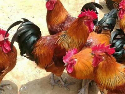 这是一张关于瑶鸡 统货 4-5斤 的产品图片