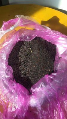 内蒙古自治区呼伦贝尔市陈巴尔虎旗油菜籽
