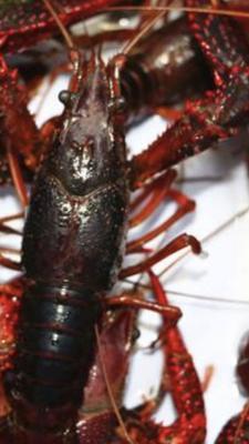 这是一张关于荆州小龙虾 4-6钱 湖虾 6—8钱的产品图片