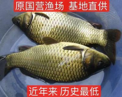 湖南省常德市汉寿县黄金鲫 0.25-1公斤 人工养殖