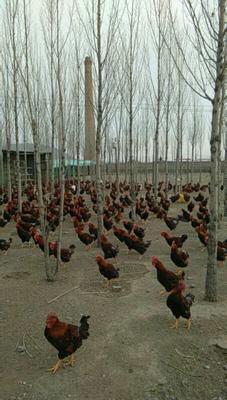 内蒙古自治区赤峰市元宝山区红玉鸡 5-6斤 公