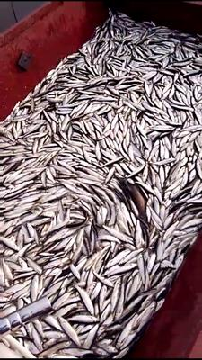 河南省平顶山市新华区餐鲦鱼 0.5公斤以下 野生