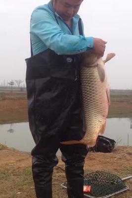 这是一张关于野生鲤鱼 10-18公斤 野生 的产品图片