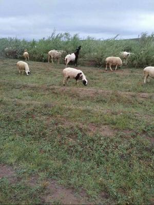 湖南省娄底市双峰县草原大尾羔羊 50-80斤