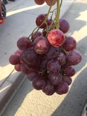 新疆维吾尔自治区吐鲁番地区吐鲁番市早紫玫瑰 1-1.5斤 5%以下 1次果