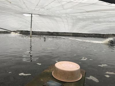 广东省湛江市麻章区南美白对虾 人工殖养 3-5钱