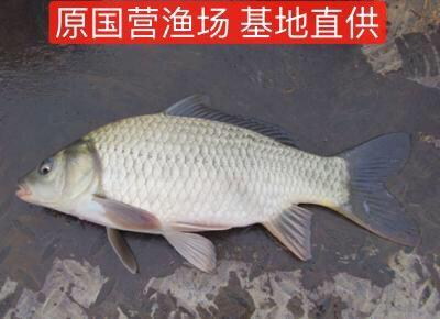 湖南省常德市汉寿县湘云鲫 0.25-1公斤 人工养殖