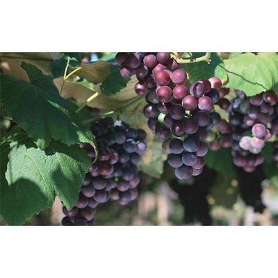 江苏省盐城市滨海县夏黑葡萄 1次果 5%以下 2斤以上