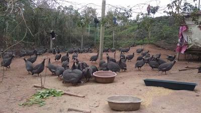 广西壮族自治区南宁市兴宁区灰色珍珠鸡 2-4斤