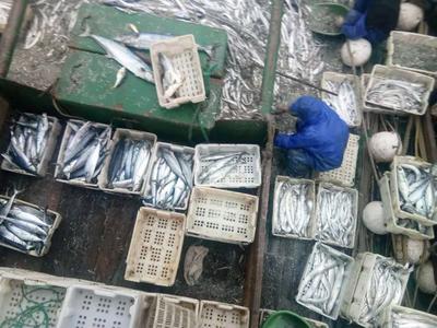 上海普陀区东海带鱼 1-1.5公斤 野生