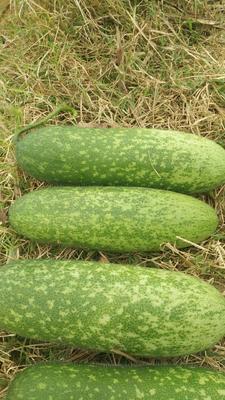 广西壮族自治区北海市海城区毛节瓜 2~6斤 地冬瓜