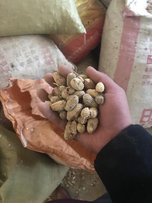 湖北省荆门市掇刀区白沙系列花生 带壳花生 干货
