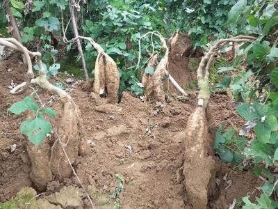 广西壮族自治区梧州市藤县人工种植葛根 1.5斤